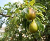 Rennes: peut-on planter un arbre fruitier dans un jardin de ville?